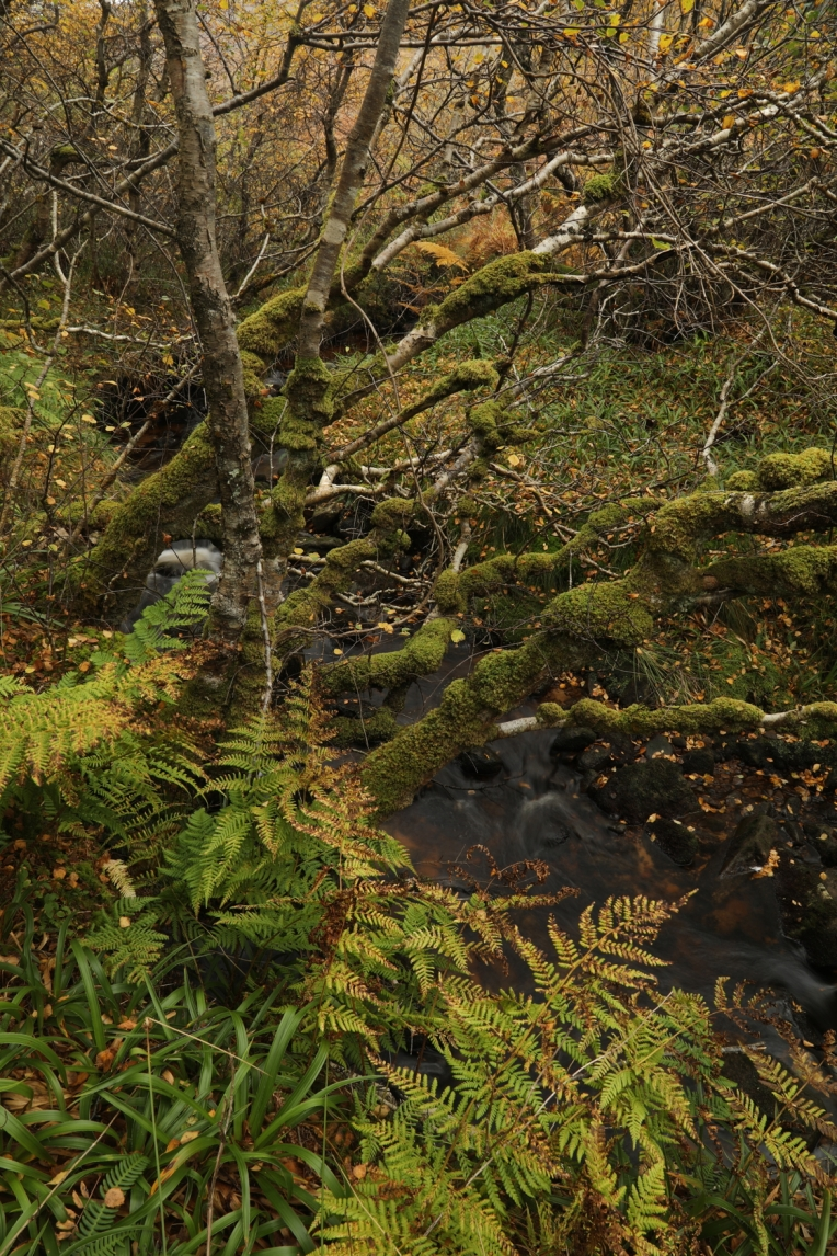 IMG_7006-Downy-birches-Betula-pubescens-in-autumn-colour-broad-buckler-ferns-Dryopteris-dilatata-great-wood-rush-Luzula-sylvatica-beside-Segal-Burn-Berriedale-Wood-Hoy