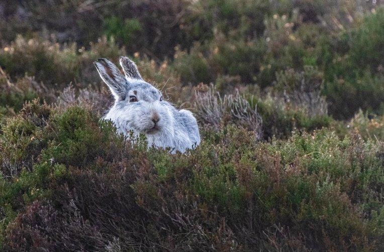 mountain_hare_002
