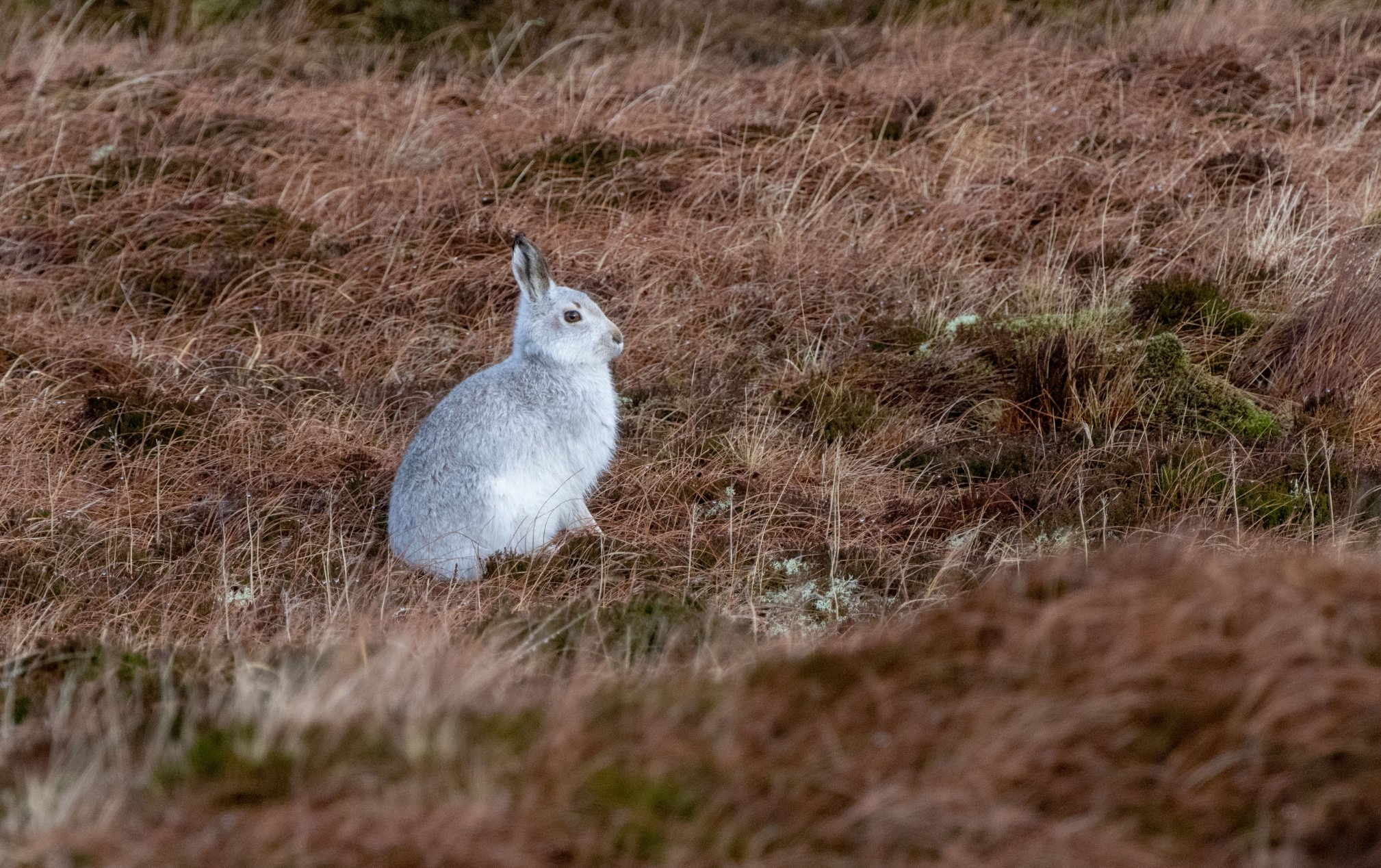 mountain_hare_003